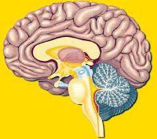 Gambar 1 Struktur Otak Manusia