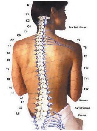 Struktur-anatomi-tulang-belakang