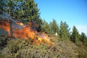 Prescribed_burn_in_a_Pinus_nigra_stand_in_Portugal