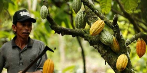 A farmer picks cocoa fruit at his plantation in Luwu district, Indonesia's south Sulawesi province July 14, 2008. Cocoa production in the area has been falling recently due to disease afflicting many cocoa plantations, a farmer said on Monday.  REUTERS/Yusuf Ahmad   (INDONESIA)