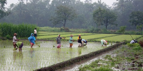 Rice_plantation_in_Java