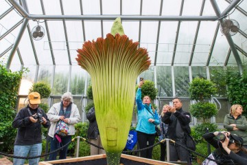 corpse-flower-alice-blooms-chicago-botanic-garden-02