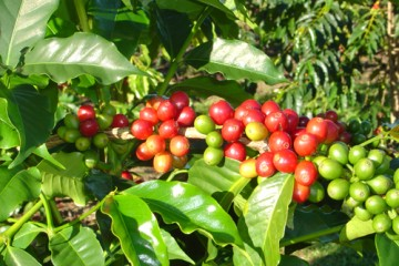 kona_coffee_branch_cherries_and_leaves