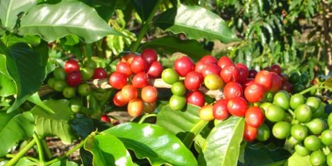 kona_coffee_branch_cherries_and_leaves