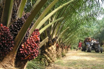 Concerned-about-palm-oil-Boycotting-won-t-change-a-thing