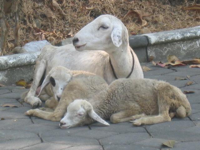 flu kambing