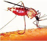 Gambar 1 Nyamuk anopheles, yang merupakan vektor penyakit malaria