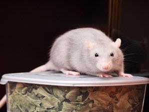 sel tikus