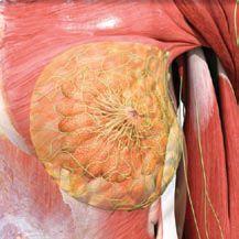 Gambar 1 Anatomi payudara yang normal