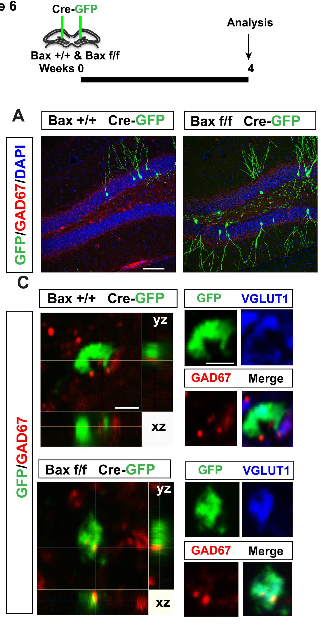 7-Prinsip Regenerasi Otak dan gambaran neuron secara histology