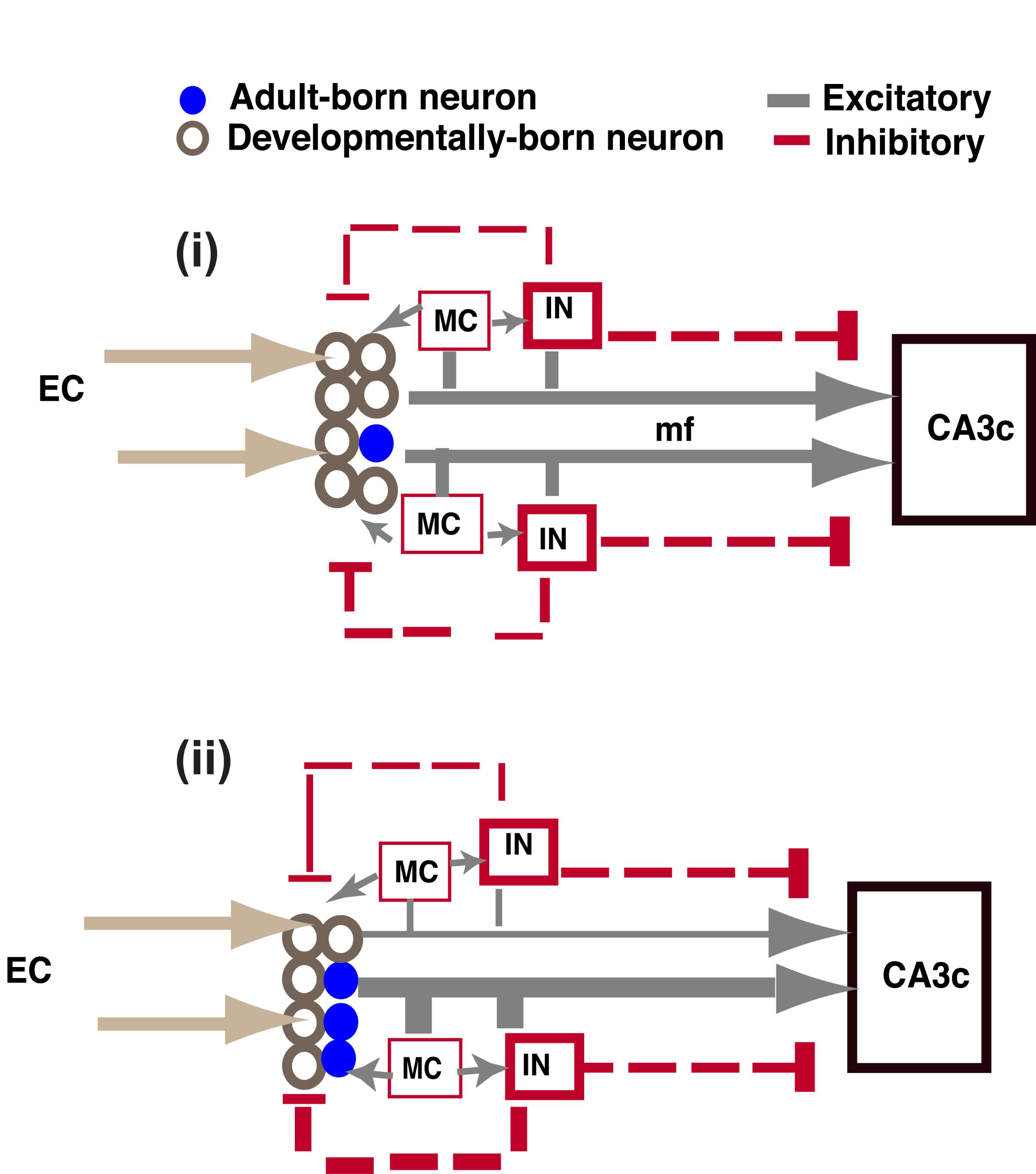 8-Skematik regenerasi otak pada DG