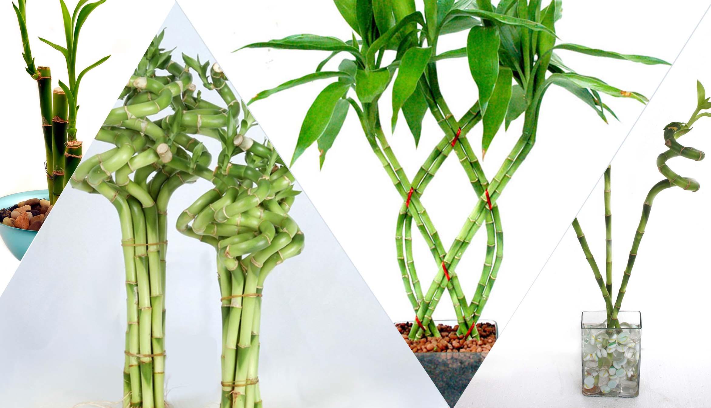 Bambu Rezeki, Tanaman Pembawa Hoki - Kabari News
